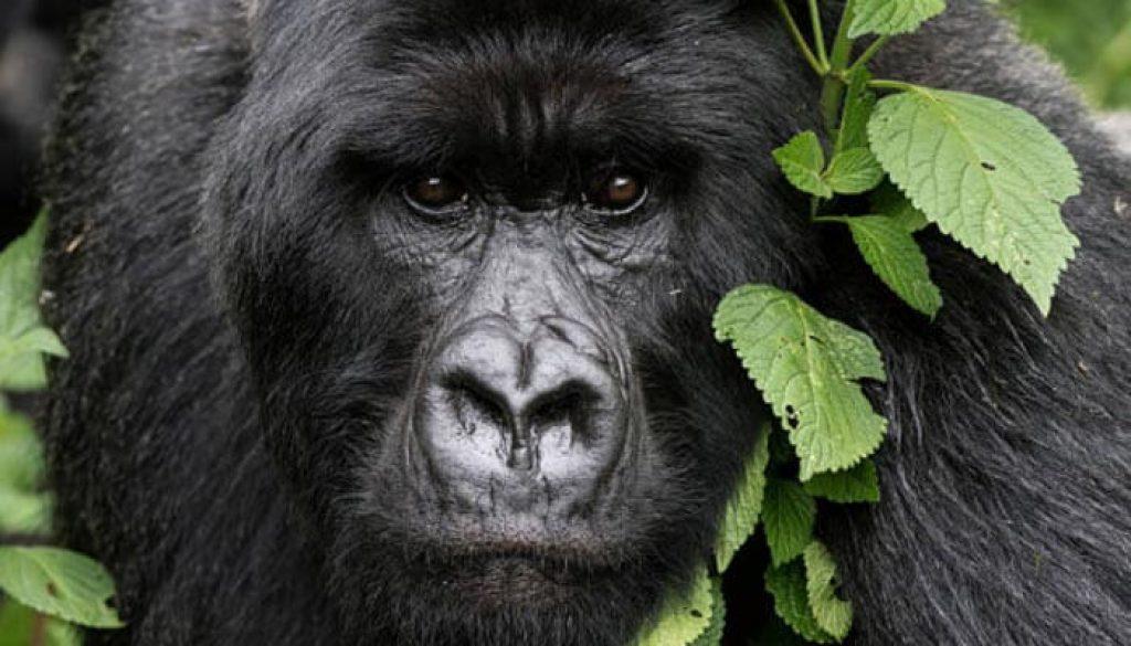 Gorilas em Ruanda