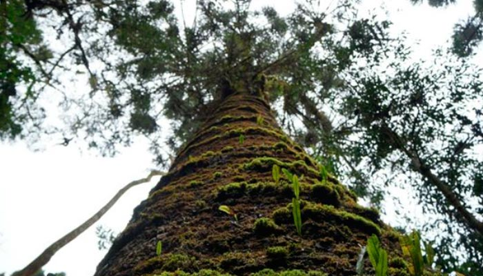Conhecer o pinheiro velho